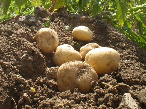 감자:가을에 정식하여 겨울에 수확하는 하우스 감자